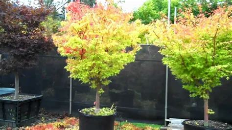 pruning japanese maples in fall at larry s trees