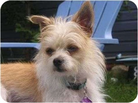 yorkie rescue cleveland ohio nicky adopted cleveland oh chihuahua yorkie terrier mix