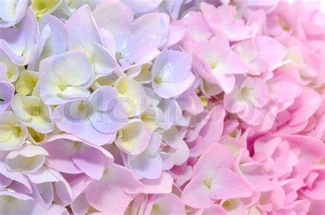 closeup of beautiful baby with flower headband stock photo beautiful purple and pink hydrangea flowers up