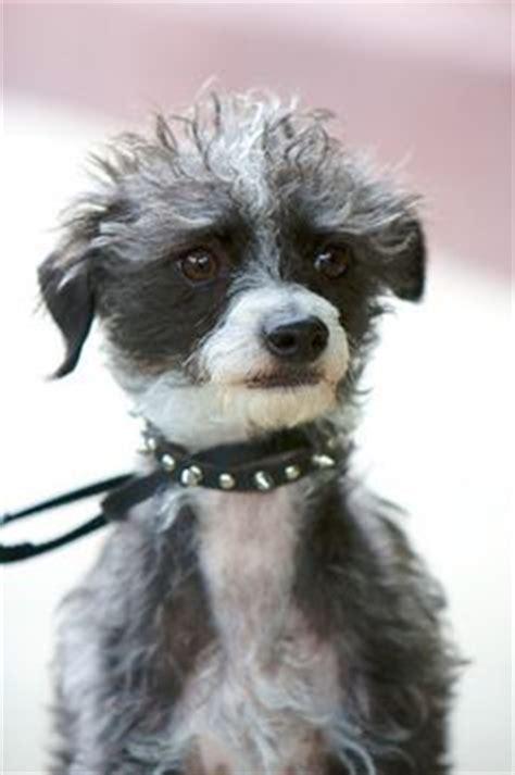 pootalian italian greyhound  poodle mix temperament