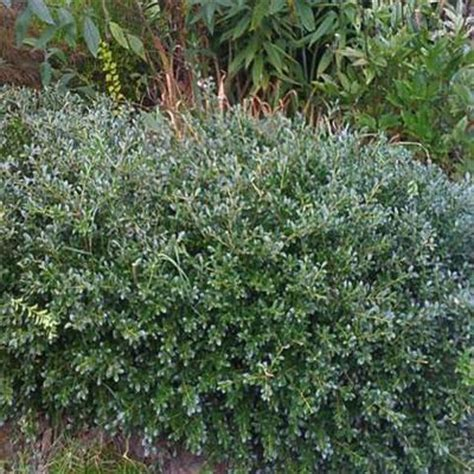 onlineplantcenter 2 gal green lustre japanese shrub