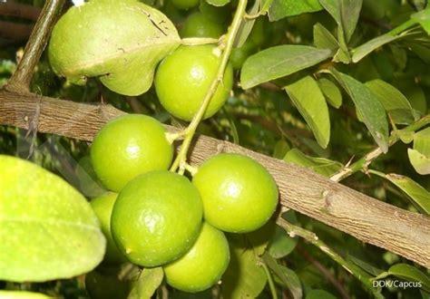 jeruk nipis obat herbal  pintar mengobati batuk info
