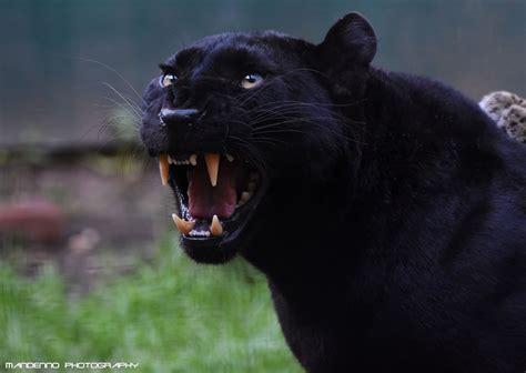 Black Leopard black leopard olmense zoo angry black leopard