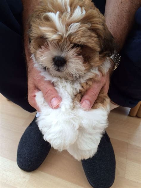 miniature poodle cross shih tzu poodle and shih tzu puppies for sale shih tzu poodle cross puppy for sale milton keynes
