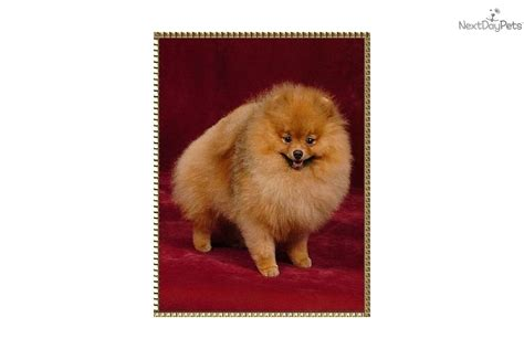 show me a picture of a pomeranian puppies for sale from beau pomeranians member since may 2005