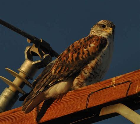 callyn yorke biology birds of southern california gallery