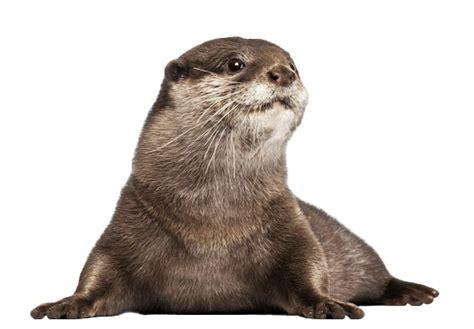 png otter transparent otterpng images pluspng