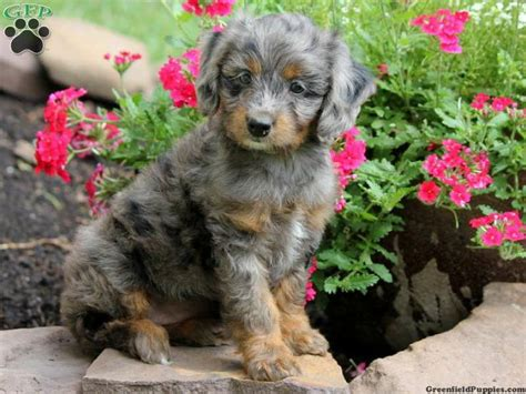 miniature aussiedoodle puppies for sale grace mini aussiedoodle puppy for sale from lykens pa aussies jacks