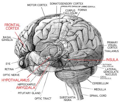 brain diagrams brains n eyeballs on the brain the human