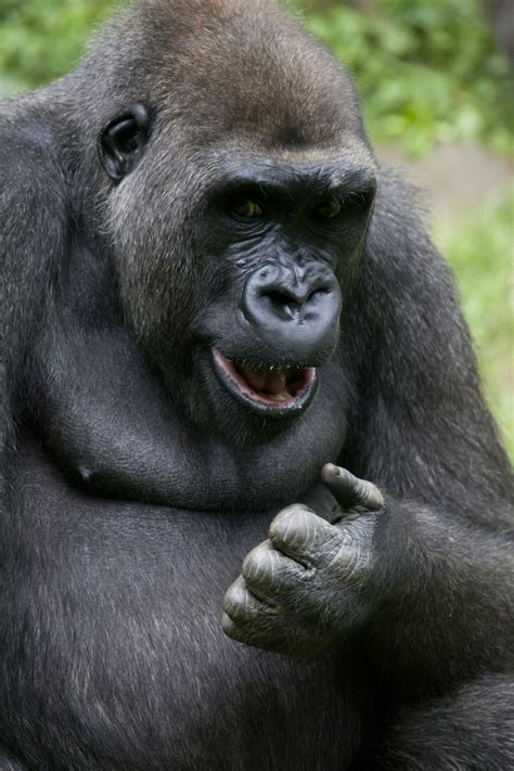amazon rainforest animals gorilla spectacular rainforest animal adaptations you simply gotta see