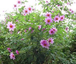 Fragrant Plants For Indoors - dahlia tenuicaulis everblooming tree dahlia