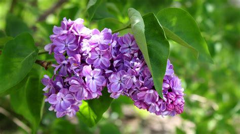 foto hd fiori sfondi primavera hd per desktop fiori lilla sfondi hd