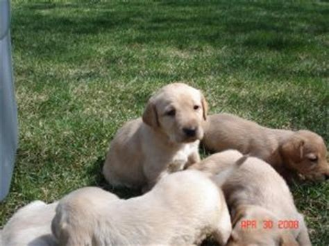 lab puppies nh labrador retriever puppies in new hshire