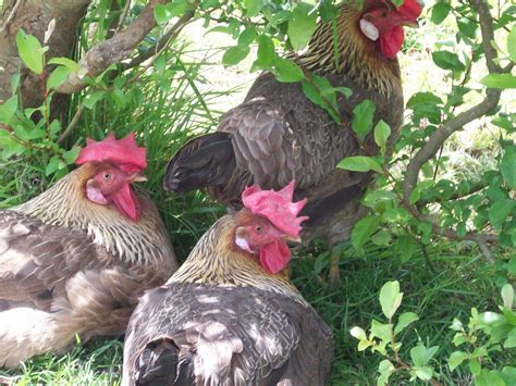 how to care for chickens in your backyard heat stress and keeping your chickens cool