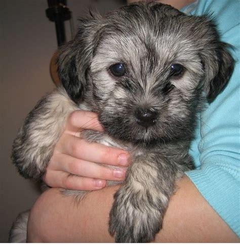 gray havanese grey havanese puppy pix jpg