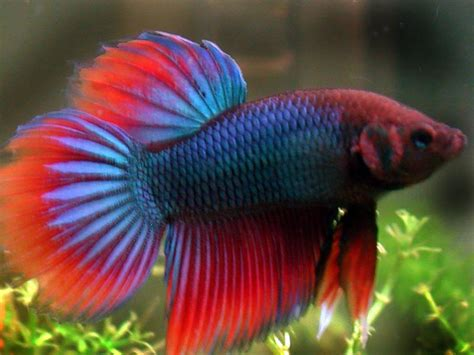fighting fish pictures animals library