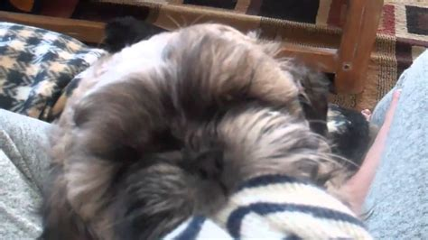 shih tzu puppy teeth our 8 week shih tzu puppy is teething