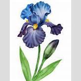 Flowers irises. - clipart graphic