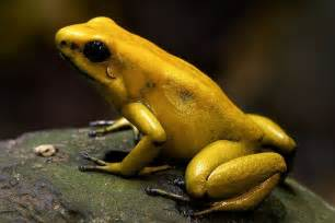 Golden Frog Golden Poison Frog