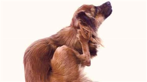 lice on dogs how to get rid of chewing lice on pets petcarerx