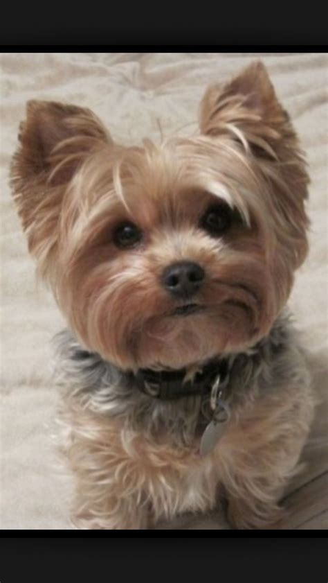 yorkie shoo and conditioner best yorkie shoo and conditioner best shoo for terrier best