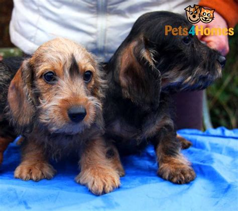 miniature haired dachshund puppies miniature wirehaired dachshund puppies ross on wye herefordshire pets4homes