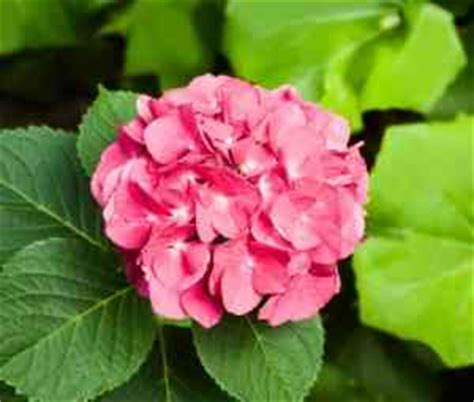 are hydrangeas poisonous to dogs plants toxic to dogs page 2