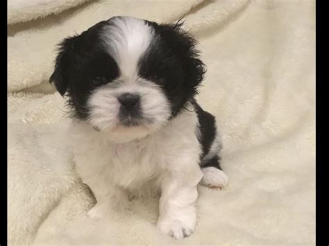 american shih tzu club shih tzu for sale by andrea american kennel club