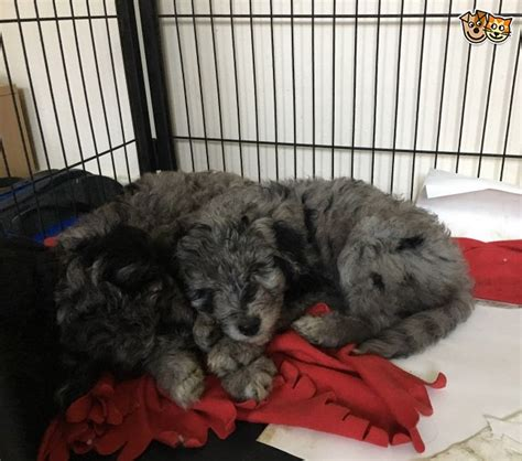 border doodle puppies for sale stunning border doodle puppies only one left