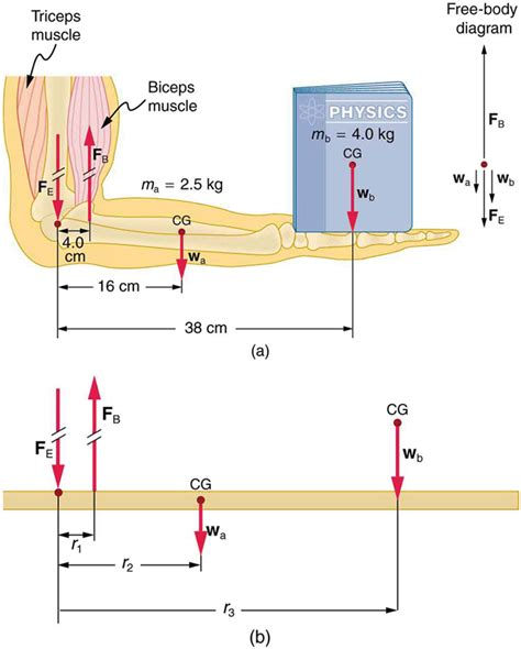 physics of the human lose weight for books we analyzed the biceps exle with the ang