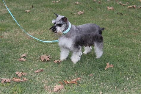 puppies oklahoma schnauzers breeds picture