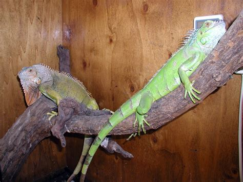iguana alimentazione club acquariologico erpetologico barese conoscete