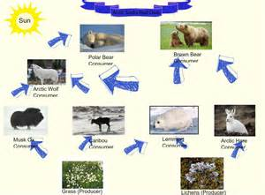 Pics photos food chain tundra food chain pictures from our sunday