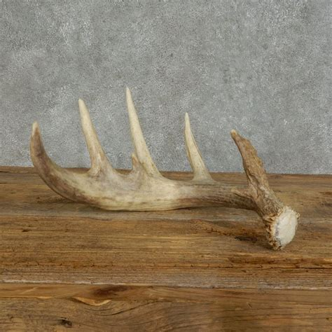 Whitetail Deer Antler Sheds by Whitetail Deer Antler Shed For Sale 16148 The Taxidermy