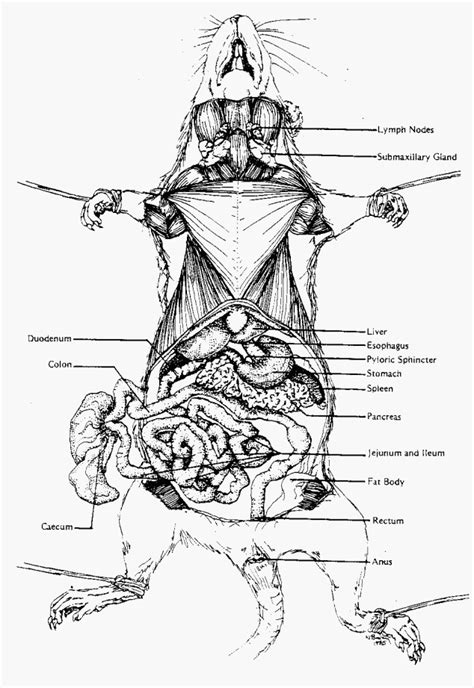 Rat Dissection Diagram