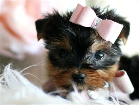 yorkie swollen 93 best images about puppies for sale on chihuahuas german shepherd