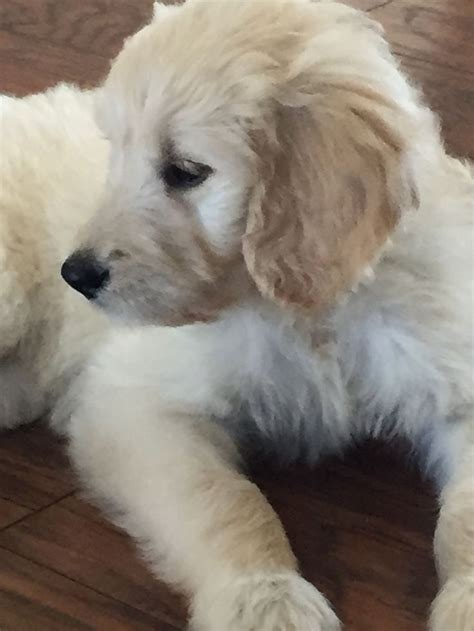 english goldendoodle f1 english cream goldendoodle named phoebe dogs