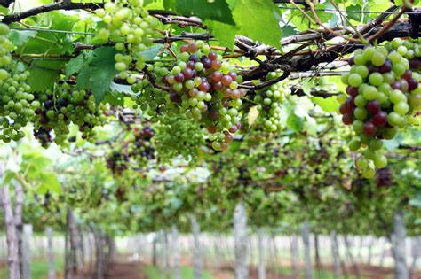 file grape plant and grapes8 jpg wikimedia commons