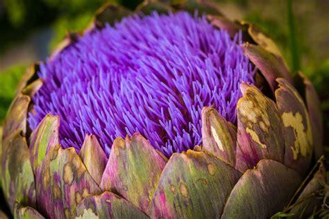 carciofo fiore il carciofo non e una verdura ma un fiore di rara