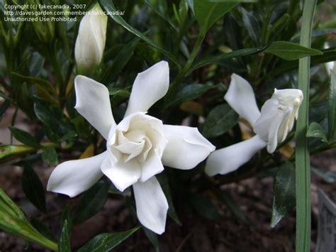 Gardenia Jasminoides Frostproof Plantfiles Pictures Gardenia Cape Gandharaj