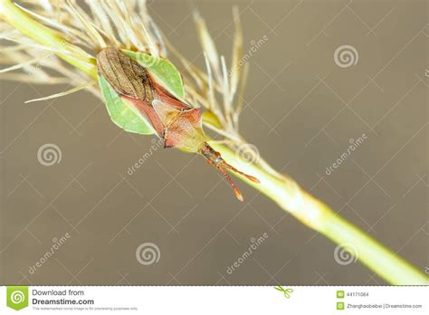 Grass Scientific Name by Assassin Bug Stock Photo Image 44171084