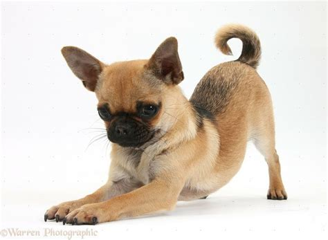pug with chihuahua pug mix with chihuahua breeds picture