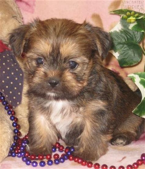 33 best images about i want a yorkie morkie shorkie on