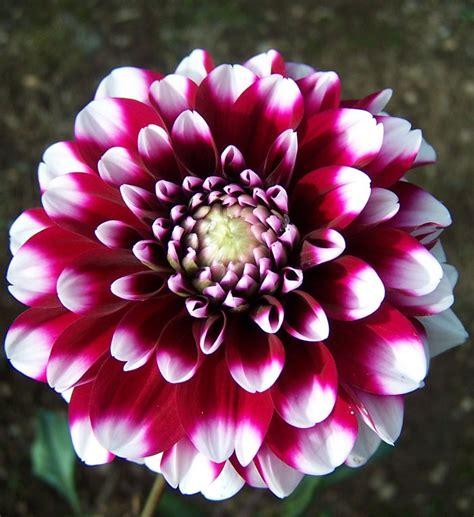 la flor de dalia laberinto dalia flor aut 243 ctona mexicana que combate la diabetes