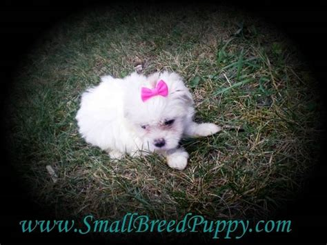 shih tzu puppies for sale gold coast puppies for sale adoption and as puppies maltese shih breeds picture