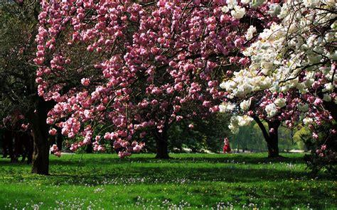 alberi fioriti sfondi primavera hd alberi fioriti sfondi hd gratis