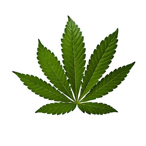 semi cannabis variet 224 e semi di cannabis dolcevita