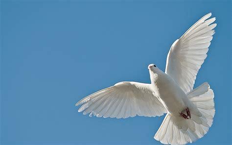 imagenes de palomas blancas en vuelo la paloma los animales me hablan