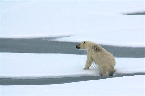 polar and polar bears out on the sea eat few seals in summer and early fall polarbearscience