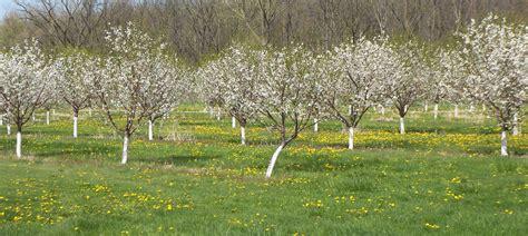 cherry tree farm sour cherries blooming at a michigan farm